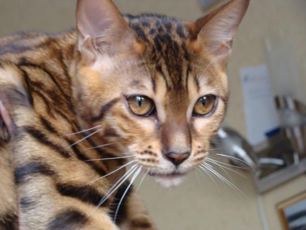 22 апреля 1980 года, чико (chiko), кот породы сингапура, найденный непосредственно в канаве сингапура