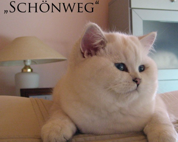 Котенок Silver shaded point | автор: Schoenweg